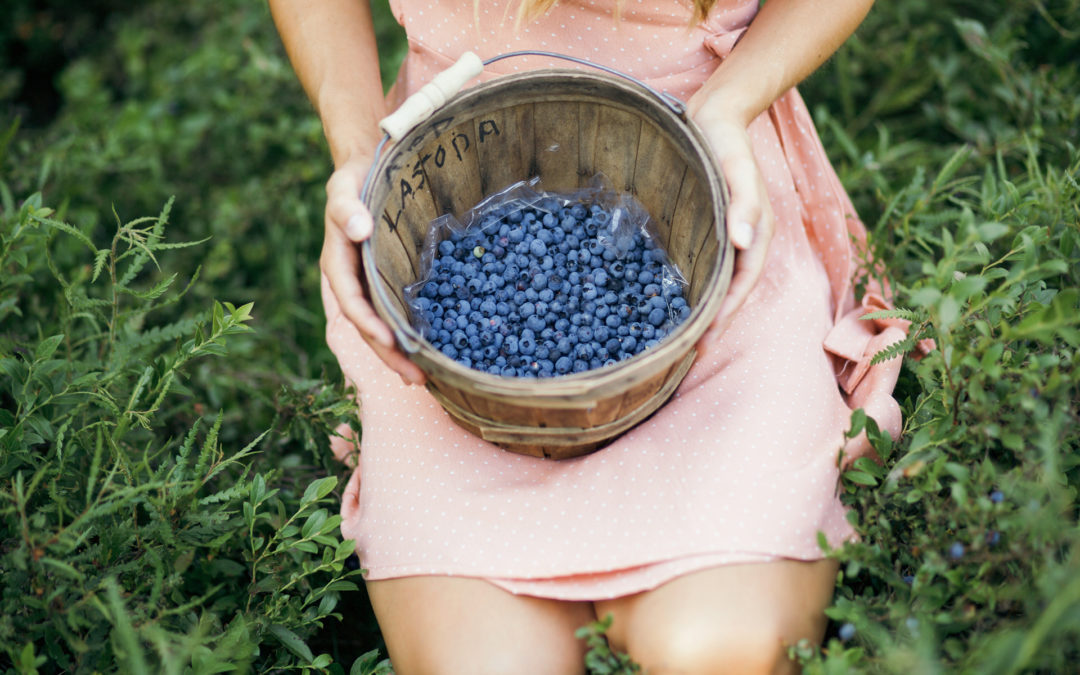 Wild Blueberry Picking in Northern Wisconsin