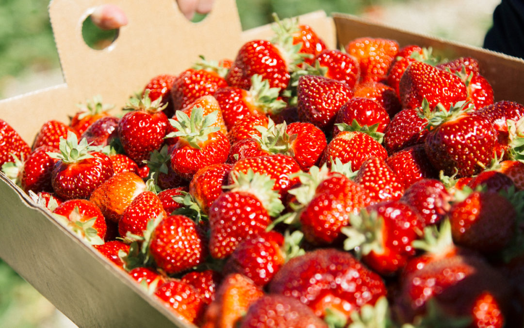 Strawberry Picking at Engelberry Farm