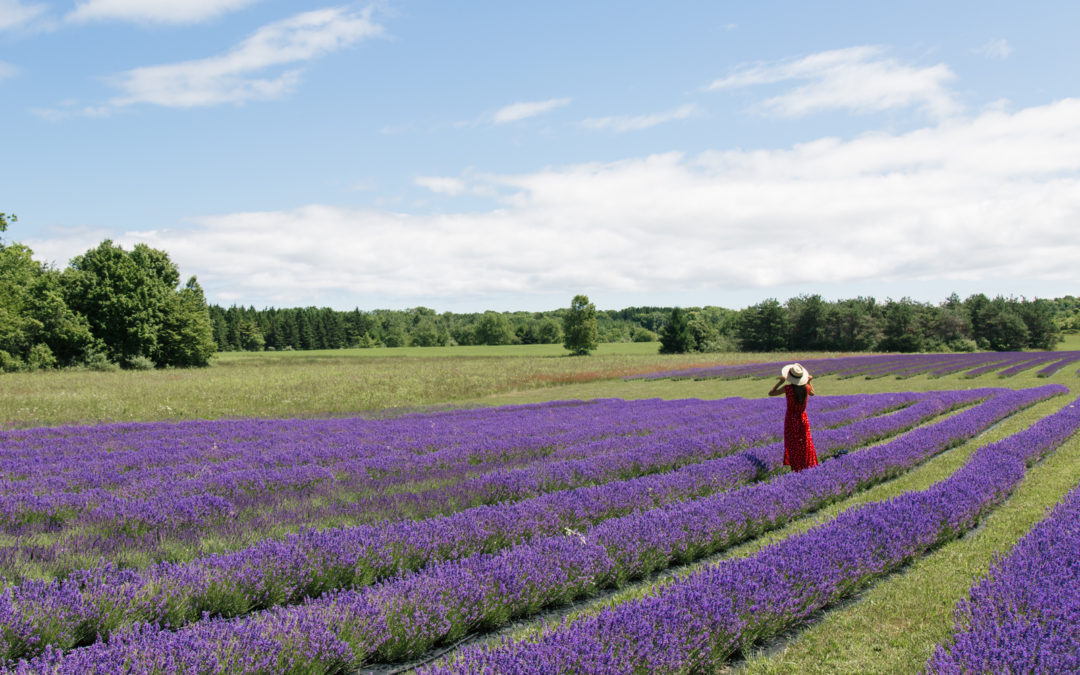 Washington Island Lavender Fields
